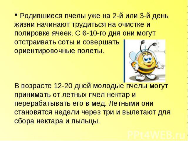 Родившиеся пчелы уже на 2-й или 3-й день жизни начинают трудиться на очистке и полировке ячеек. С 6-10-го дня они могут отстраивать соты и совершать ориентировочные полеты. В возрасте 12-20 дней молодые пчелы могут принимать от летных пчел нектар и …