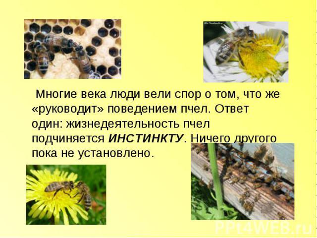 Многие века люди вели спор о том, что же «руководит» поведением пчел. Ответ один: жизнедеятельность пчел подчиняется ИНСТИНКТУ. Ничего другого пока не установлено.