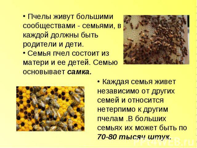Пчелы живут большими сообществами - семьями, в каждой должны быть родители и дети. Семья пчел состоит из матери и ее детей. Семью основывает самка. Каждая семья живет независимо от других семей и относится нетерпимо к другим пчелам .В больших семьях…