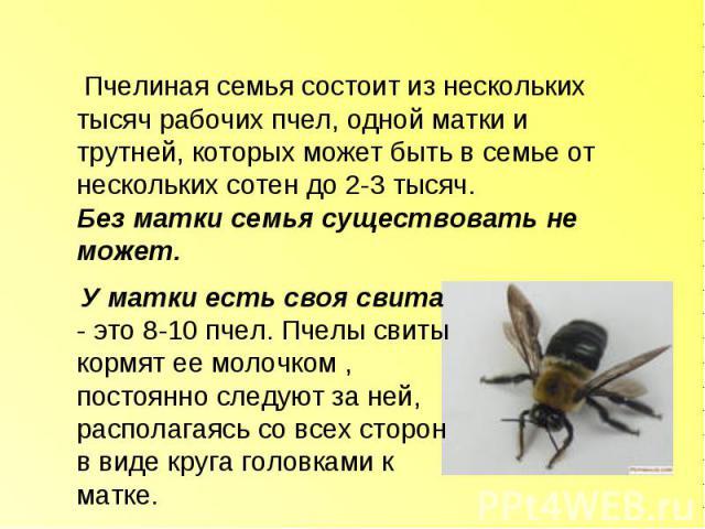 Пчелиная семья состоит из нескольких тысяч рабочих пчел, одной матки и трутней, которых может быть в семье от нескольких сотен до 2-3 тысяч.Без матки семья существовать не может. У матки есть своя свита - это 8-10 пчел. Пчелы свиты кормят ее молочко…