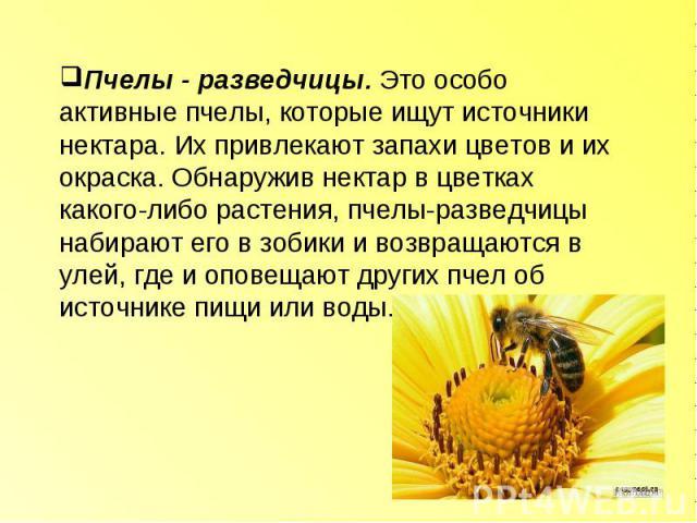 Пчелы - разведчицы. Это особо активные пчелы, которые ищут источники нектара. Их привлекают запахи цветов и их окраска. Обнаружив нектар в цветках какого-либо растения, пчелы-разведчицы набирают его в зобики и возвращаются в улей, где и оповещают др…