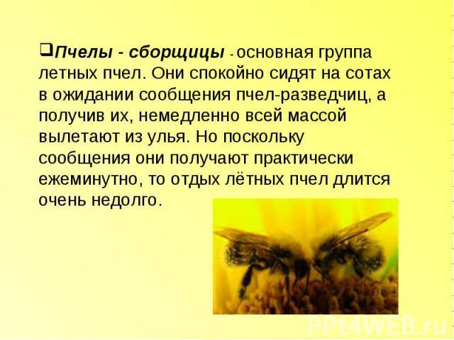 Пчелы - сборщицы - основная группа летных пчел. Они спокойно сидят на сотах в ожидании сообщения пчел-разведчиц, а получив их, немедленно всей массой вылетают из улья. Но поскольку сообщения они получают практически ежеминутно, то отдых лётных пчел …