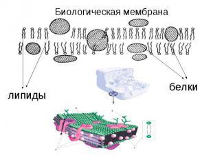 Биологическая мембраналипидыбелки