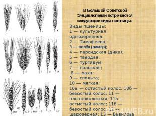 В Большой Советской Энциклопедии встречаются следующие виды пшеницы:Виды пшеницы