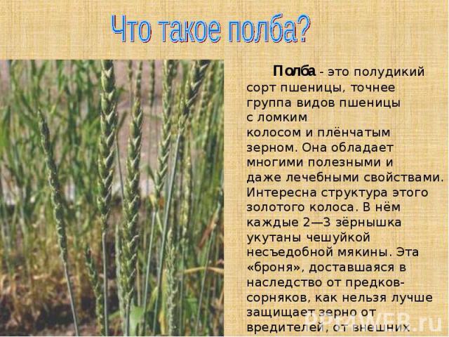 Что такое полба? Полба- это полудикий сорт пшеницы, точнее группа видов пшеницы сломким колосомиплёнчатым зерном. Она обладает многимиполезнымии дажелечебными свойствами. Интересна структура этого золотого колоса. В нём каждые 2—3 зёрнышка ук…