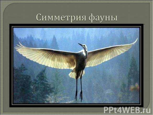 Симметрия фауны