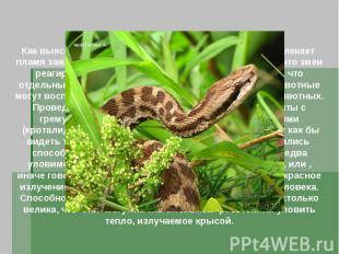 Как выяснили в 1892 году ученые, гремучих змеи привлекает пламя зажженных спичек
