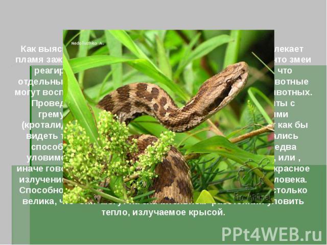 Как выяснили в 1892 году ученые, гремучих змеи привлекает пламя зажженных спичек. Но поначалу ученые думали, что змеи реагируют на мерцание пламени. Теперь мы знаем, что отдельные разновидности змей и некоторые другие животные могут воспринимать теп…