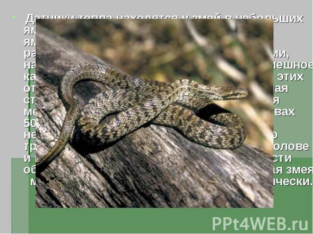 Датчики тепла находятся у змей в небольших ямках на морде , откуда и их название ямкоголовые. В каждой небольшой расположенной между глазами и ноздрями, направленной вперёд ямки имеется кромешное, как булавочный угол, отверстие. На дне этих отверсти…