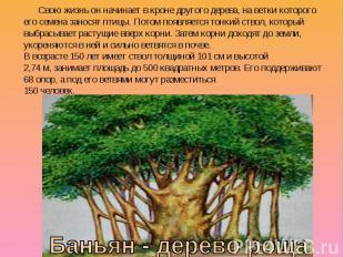Свою жизнь он начинает в кроне другого дерева, на ветки которого его семена зано