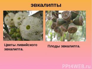 эвкалипты Цветы ливийского эвкалипта.Плоды эвкалипта.