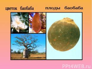 цветок баобабаплоды баобаба