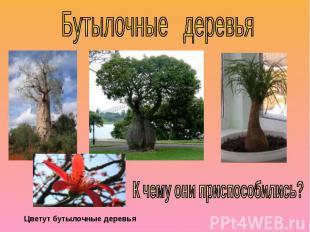 Бутылочные деревьяК чему они приспособились?Цветут бутылочные деревья
