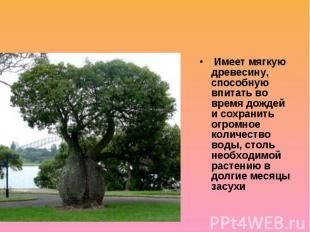 Бутылочные деревья Имеет мягкую древесину, способную впитать во время дождей и с