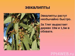 эвкалиптыЭвкалипты растут необычайно быстро. За 7лет вырастает дерево 19м и 1,5м