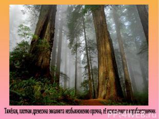Тяжёлая, плотная древесина эвкалипта необыкновенно прочна, её используют в кораб