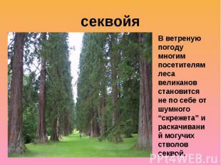 секвойяВ ветреную погоду многим посетителям леса великанов становится не по себе