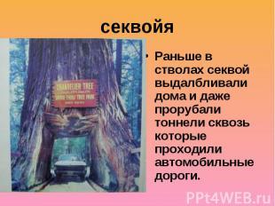 секвойяРаньше в стволах секвой выдалбливали дома и даже прорубали тоннели сквозь
