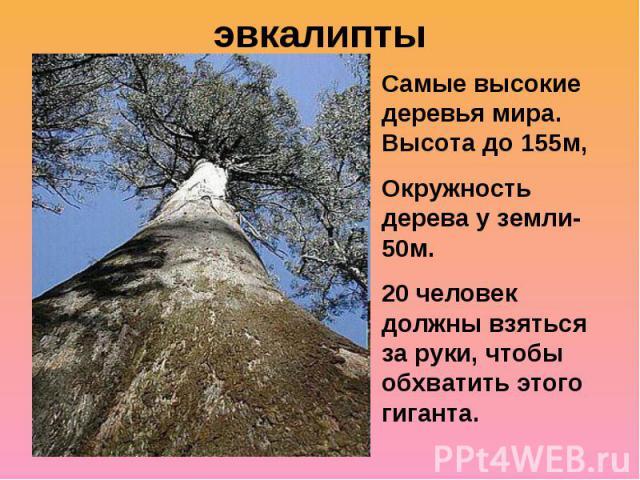 эвкалиптыСамые высокие деревья мира. Высота до 155м,Окружность дерева у земли-50м. 20 человек должны взяться за руки, чтобы обхватить этого гиганта.