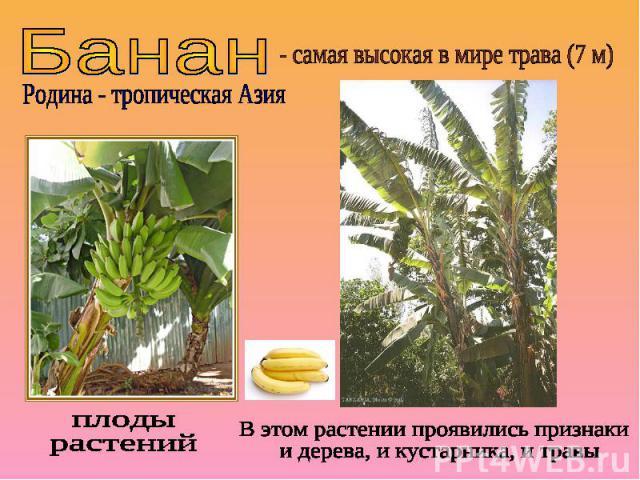 Банан- самая высокая в мире трава (7 м)Родина - тропическая Азияплоды растенийВ этом растении проявились признаки и дерева, и кустарника, и травы