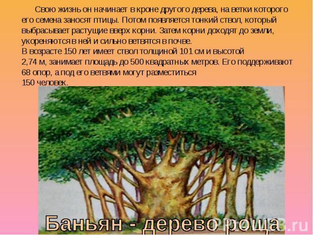 Свою жизнь он начинает в кроне другого дерева, на ветки которого его семена заносят птицы. Потом появляется тонкий ствол, который выбрасывает растущие вверх корни. Затем корни доходят до земли, укореняются в ней и сильно ветвятся в почве. В возрасте…