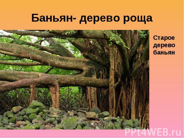 Баньян- дерево рощаСтарое дерево баньян
