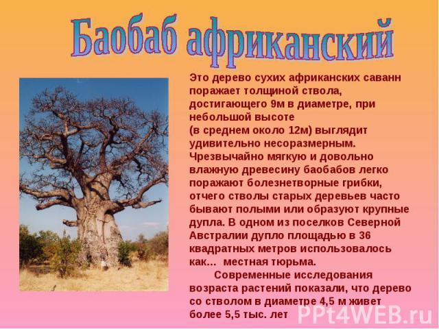 Баобаб африканскийЭто дерево сухих африканских саванн поражает толщиной ствола, достигающего 9м в диаметре, при небольшой высоте (в среднем около 12м) выглядит удивительно несоразмерным. Чрезвычайно мягкую и довольно влажную древесину баобабов легко…