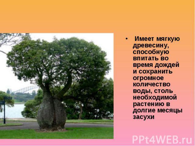 Бутылочные деревья Имеет мягкую древесину, способную впитать во время дождей и сохранить огромное количество воды, столь необходимой растению в долгие месяцы засухи