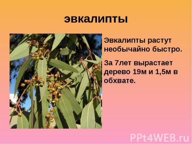 эвкалиптыЭвкалипты растут необычайно быстро. За 7лет вырастает дерево 19м и 1,5м в обхвате.