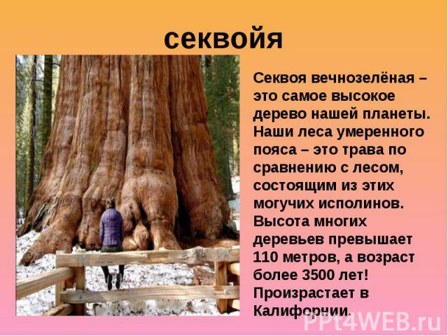 секвойяСеквоя вечнозелёная – это самое высокое дерево нашей планеты. Наши леса умеренного пояса – это трава по сравнению с лесом, состоящим из этих могучих исполинов. Высота многих деревьев превышает 110 метров, а возраст более 3500 лет! Произрастае…