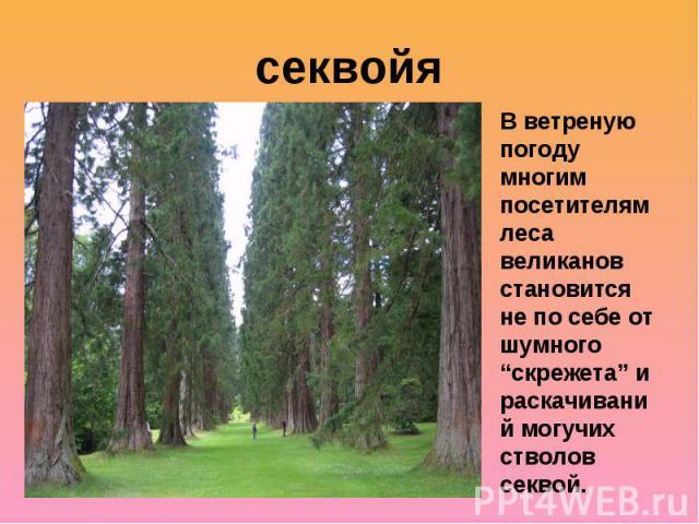 """секвойяВ ветреную погоду многим посетителям леса великанов становится не по себе от шумного """"скрежета"""" и раскачиваний могучих стволов секвой."""