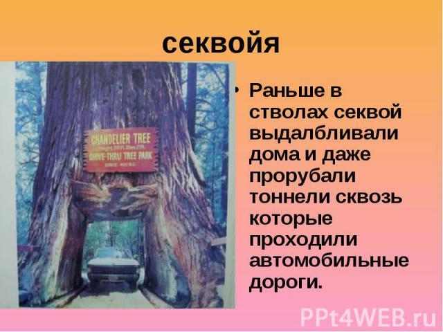 секвойяРаньше в стволах секвой выдалбливали дома и даже прорубали тоннели сквозь которые проходили автомобильные дороги.