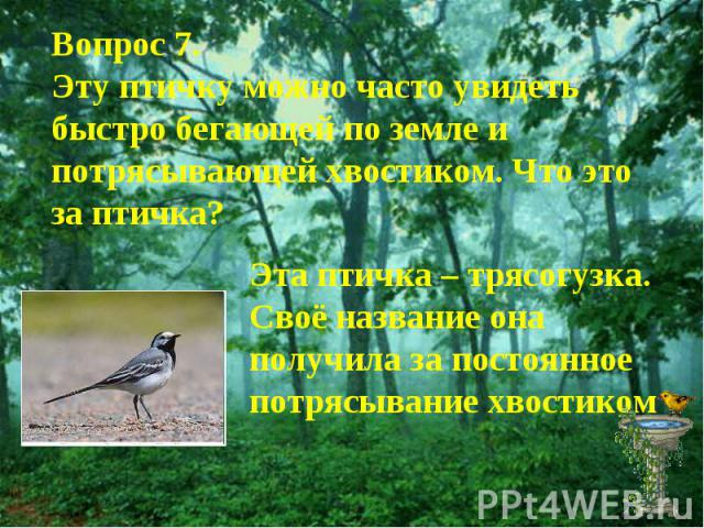 Вопрос 7.Эту птичку можно часто увидеть быстро бегающей по земле и потрясывающей хвостиком. Что это за птичка?Эта птичка – трясогузка. Своё название она получила за постоянное потрясывание хвостиком