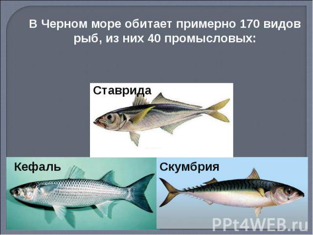 В Черном море обитает примерно 170 видов рыб, из них 40 промысловых: