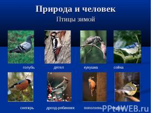 Природа и человек Птицы зимойголубь дятел кукушка сойкаснегирь дрозд-рябинник по