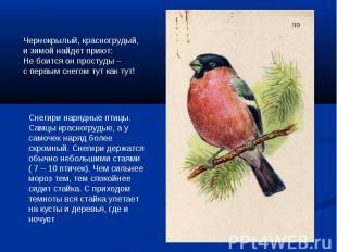Чернокрылый, красногрудый, и зимой найдет приют:Не боится он простуды –с первым