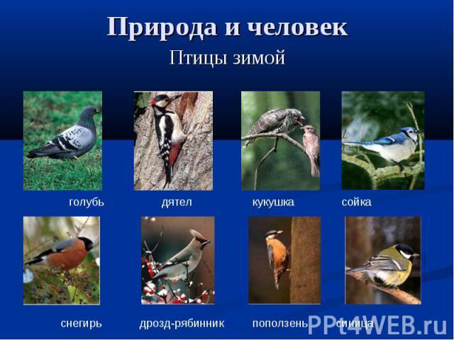 Природа и человек Птицы зимойголубь дятел кукушка сойкаснегирь дрозд-рябинник поползень синица