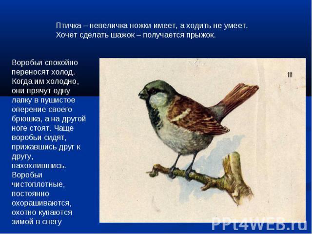 Птичка – невеличка ножки имеет, а ходить не умеет.Хочет сделать шажок – получается прыжок.Воробьи спокойно переносят холод. Когда им холодно, они прячут одну лапку в пушистое оперение своего брюшка, а на другой ноге стоят. Чаще воробьи сидят, прижав…