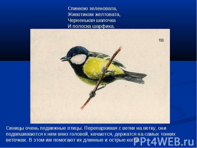 Спинкою зеленовата,Животиком желтовата, Черненькая шапочкаИ полоска шарфика.Синицы очень подвижные птицы. Перепархивая с ветки на ветку, они подвешиваются к ним вниз головой, качаются, держатся на самых тонких веточках. В этом им помогают их длинные…