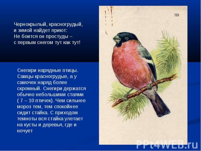Чернокрылый, красногрудый, и зимой найдет приют:Не боится он простуды –с первым снегом тут как тут!Снегири нарядные птицы. Самцы красногрудые, а у самочек наряд более скромный. Снегири держатся обычно небольшими стаями ( 7 – 10 птичек). Чем сильнее …