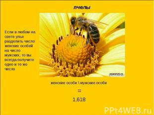 пчелыЕсли в любом на свете улье разделить число женских особей на число мужских,