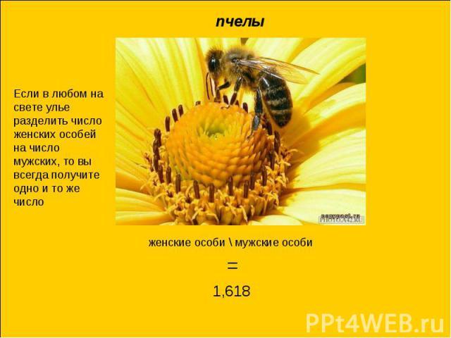пчелыЕсли в любом на свете улье разделить число женских особей на число мужских, то вы всегда получите одно и то же числоженские особи \ мужские особи