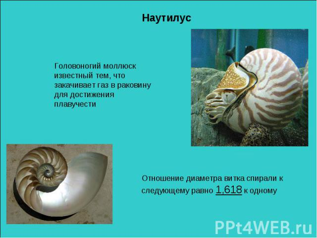 НаутилусГоловоногий моллюск известный тем, что закачивает газ в раковину для достижения плавучестиОтношение диаметра витка спирали к следующему равно 1,618 к одному