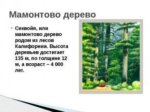 Мамонтово деревоСеквойя, или мамонтово дерево родом из лесов Калифорнии. Высота