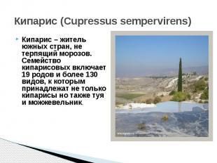 Кипарис (Cupressus sempervirens)Кипарис – житель южных стран, не терпящий морозо