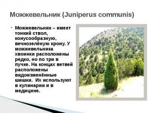 Можжевельник (Juniperus communis)Можжевельник – имеет тонкий ствол, конусообразн