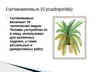 Саговниковые (Cycadopsida) Саговниковые включают 20 тропических видов. Человек у