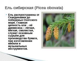 Ель сибирская (Picea obovata)Ель распространена от Скандинавии до побережья Охот