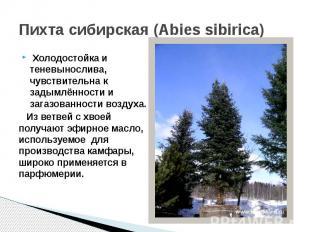 Пихта сибирская (Abies sibirica) Холодостойка и теневынослива, чувствительна к з