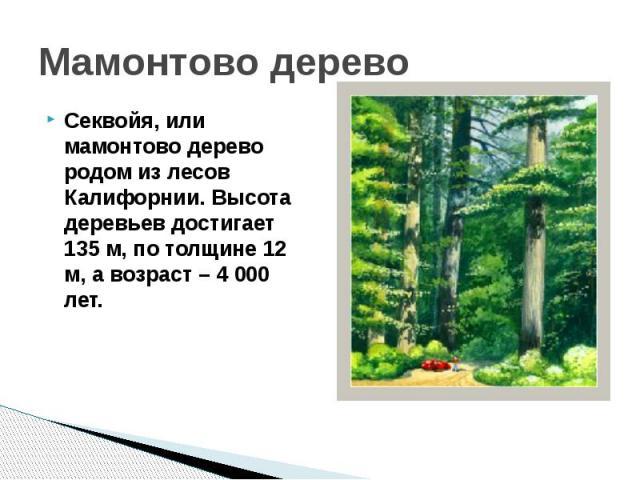 Мамонтово деревоСеквойя, или мамонтово дерево родом из лесов Калифорнии. Высота деревьев достигает 135 м, по толщине 12 м, а возраст – 4 000 лет.
